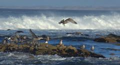 flight (Kristen Fletcher Photography) Tags: seagull seagulls pacificgrove pacificocean pacific ocean coast rockyshore rockycoast waves crashingwaves seabird seabirds shore shoreline seashore
