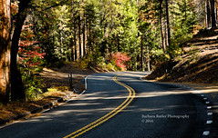 Scenic Hwy. 49 (RedHatGal: Barbara Butler/FireCreek Photography) Tags: highway49 yosemite fresnocounty road curve forest dogwood fallcolor october outdoor landscape trees scenicroad rural wildness nationalpark barbarabutlerphotography firecreekphotography redhatgal