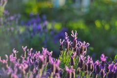 Spot the bees (Ben Bishop.) Tags: bee macro flower plant plants flowers floral f18 nikkor nikon d90 nikond90 melbourne benfrommelbourne aperture