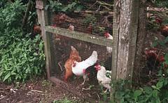 (jonesrachel920) Tags: costa rica earthwatch 35mm negative scan film monteverde uga chicken farm