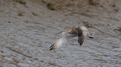 Curlew (Mister Oy) Tags: curlew condorgreen glassondock lancashire bird flight fujixpro2 fuji55200mm nature wildlife