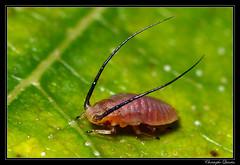 Monaphis antennata on Betula pendula (cquintin) Tags: arthropoda homoptera aphididae monaphis antennata