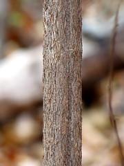 Shrub (treegrow) Tags: washingtondc rockcreekpark lifeonearth nature canonpowershotsx40hs plant angiosperms viburnum taxonomy:genus=viburnum