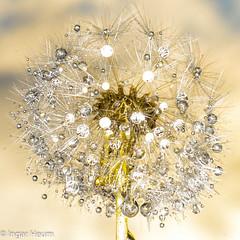 dandelion seed head (Ingar H) Tags: dandelion seed head løvetann frø dugg dew drops dråper juveler jewels perler pearls blomst plante flower plant