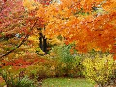 Fall at it's peak! (lovesdahlias 1) Tags: foliage trees shrubs fall nature newengland