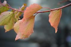 Apricot (nor certitude) Tags: apricot autumn