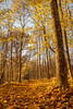 Yellow forest path (fredrik.gattan) Tags: forest autumn yellow collor golden path leaves trees nature
