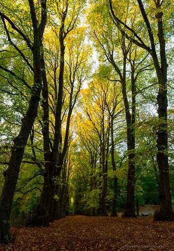 Groenendaal trees