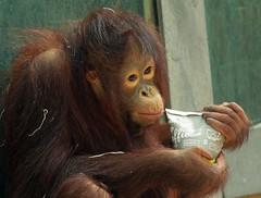 orangutan ouwehands JN6A6823 (j.a.kok) Tags: orangutan orangoetan orang mensaap primaat primate aap ape monkey ouwehands ouwehand ouwehandsdierenpark ouwehandszoo