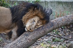 This Feels So Good (Miles McNamee) Tags: zoo king dczoo animal scratching lion