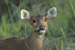 Hog Deer (sahaavijan88) Tags: hog deer kaziranga national park photography tour wild india assam