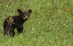 Black bear cub (Guy Lichter Photography - 3.1M views Thank you) Tags: canon 5d3 canada manitoba rmnp wildlife animals mammal mammals bear bears blackbear cub