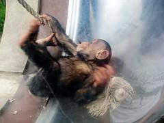 Pan troglodytes --  Chimpanzee child at play 1369 (Tangled Bank) Tags: asahiyama zoo hokkaido japan japanese asia asian animal zoological gardens pan troglodytes chimpanzee child play 1367 primate chimp juvenile ape