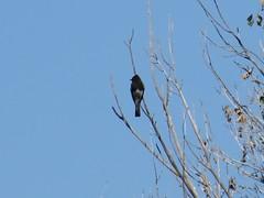 Black Phoebe - Arizona by SpeedyJR (SpeedyJR) Tags: 2016janicerodriguez sweetwaterwetlands tucsonaz blackphoebe phoebes birds wildlife nature tucsonarizona arizona speedyjr