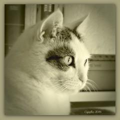 Jasmijn in sepia. (Cajaflez) Tags: pet cat kat chat katze gatto huisdier portret portrait sepia jasmijn coth5