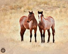 Onaqui Mountain wild horses (forbushclydene) Tags: wildhorses wildhorsesonaquimountainwildhorses horses