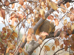 Squirrel 20161204 (caligula1995) Tags: 2016 plumtree squirrel