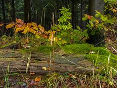 Im Wald (berndtolksdorf1) Tags: natur wald moos pilze äste laub baumstamm outdoor