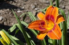 Liliowiec Ogrodowy (Nieogolony) Tags: przemysaw karpiski nikon d5100 nieogolony flower kwiat polacy kwiaty rolina plant outdoor lily lilia liliowiec ogrodowy polska natura soce sun flickr