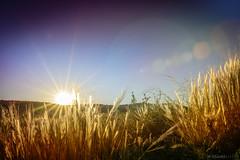 campo dorado (Mauro Esains) Tags: astra chubut patagonia km 20 pasto arbustos atardecer cerros caadn plantas dorado cielo tranquilidad serenidad paisaje destello sol contraluz espigas campo