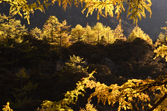 Golden pine (Mel s away) Tags: daocheng sichuan china    larch  pine tree chanmelmel mel melinda melindachan  nature reserve snowmountain