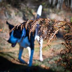 On the case (grahamrobb888) Tags: nikon nikkor50mmf18 nikond800 nikkor birnamwood winter cold forest frost zac dog pet perthshire scotland