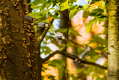 White Breasted Nuthatch Sequence of Four (Michael Bateman) Tags: amniota animalia aves avilalae bateman bird chordata eumaniraptora michael neognathae neornithes nuthatches passeriformes photography sauropsida sittacarolinensis sittidae teleostomi tetrapoda whitebreastednuthatch wildlife animals birds kinnelon newjersey unitedstates us michaelbateman