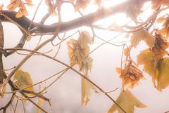 Light (redgoldish) Tags: light leaves tree shining autumn fall