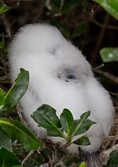 where is my other slipper? (sussexscorpio) Tags: booby bluefootedbooby island genovesa ecuador galapagos canon canon60d eye peeping peep fluffy baby chick bird white outdoor sulanebouxii boobies pacificocean marine blue ocean sea water southamerica