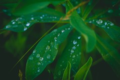 Macro Droplets (mattbigwoods) Tags: nature outdoors spring green droplets water leaves macro
