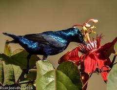 Purple Sunbird (Cinnyris asiaticus) (sanjeevdhar) Tags: purplesunbird sunbird cinnyrisasiaticus punebirds birdsofsouthindia birdsindia sanjeevdhar