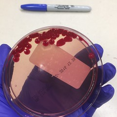 Serratia marcescens on Yersinia selective agar (ddsiple) Tags: selectivemedia agar enterobacteriaceae serratiamarcescens microbiology