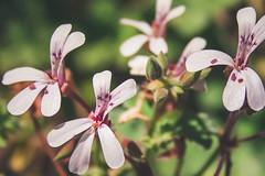 Little fairy (Chlo +++) Tags: flower fleur rose pink green verte nature autumn automne fe fairies magic magique profondeur canon