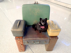 Functional Airport Art (Bugldy99) Tags: chair art dog pomeranian seat airport suitcase luggage