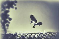 the wisdom of the crow (***toile filante***) Tags: crow krhe bird vogel poetic poetisch soulful emotions creative kreativ wisdom weisheit beauty nature natur art soul tree baum