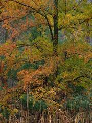 Willow Oak (Dendroica cerulea) Tags: willowoak quercusphellos lobatae quercus fagaceae fagales trees plant leaves foliage autumn highlandparkmeadows highlandpark middlesexcounty nj newjersey