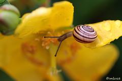 Tout doucement ! (Milucide !) Tags: calme tranquille still fleur escargot macro nature jardin