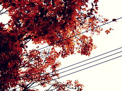 Images-of-late-fall--DSC03056 (mbgmbg) Tags: contrast crossprocess desaturate fall fallfoliage kw2flickr kwgooglewebalbum kwphotostream5 kwpotppt series seriesfallfoliage16 takenbymarkgerstein trees treesandsky northhaven connecticut unitedstates