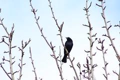 Black Bird (IS NOT LATE; ignaciovcm@hotmail.com) Tags: noir oiseau vogel черная птица schwarzer 黒い鳥