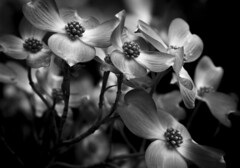 Classical Beauty: Dogwood (B&W) (Life_After_Death - Shannon Renshaw) Tags: life wood pink flowers red blackandwhite bw dog white plant black flower detail macro tree art floral monochrome canon garden botanical photography eos death mono blackwhite petals soft day blossom gardening petal shannon chrome bloom flowering after wildflowers dogwood dslr delicate botany wildflower canondslr hmm canoneos heavenly intricate lifeafterdeath 50d shannonday canoneos50d eosdslr canoneos50ddslr lifeafterdeathstudios lifeafterdeathphotography shannondayphotography shannondaylifeafterdeath lifeafterdeathstudiosartandphotography shannondayartandphotography