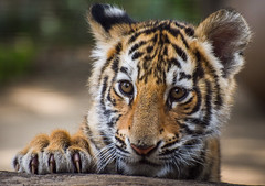 Bengal Tiger Cub (Jasper Gielen) Tags: portrait cute cat zoo cub nikon tiger portrt 70300mm tierpark portret tijger tigre dierentuin dierenpark bengaltiger olmen felidae knigstiger welp olmensezoo pantheratigristigris bengaalsetijger royalbengaltiger tigredubengale d5300 indischertiger tijgerwelpjes