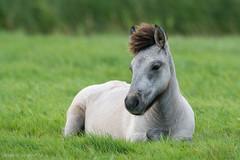 AAD_7322 (De Hollena) Tags: horse caballo cheval pferd paard equusferuscaballus