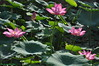 Hoa sen (Cát Đằng) Tags: summer flower lotus 花 夏 sen hoa 荷花 莲花 꽃 夏天 荷 여름 莲 연꽃 hoasen bông mùahè bôngsen senhồng