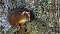 Orav, ks pelglik tegelane - Squirrel (Kerttu Treksler) Tags: squirrel estonia eesti orav kastna harilikorav punaorav