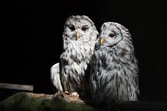 A couple of owls (Ingo Klever) Tags: bird tiere wildlife owl ingo mnsterland strigiformes eule klever digitaldesign eulen halternamsee reken frankenhof fotoristisch fotoristischcom
