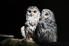 A couple of owls (Ingo Klever) Tags: bird tiere wildlife owl ingo münsterland strigiformes eule klever digitaldesign eulen halternamsee reken frankenhof fotoristisch fotoristischcom