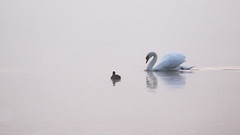 As the morning mist clears ... (lens buddy) Tags: birds swan wildlife lancashire waterfowl morningmist muteswan pinelake wildfowl carnforth canoneosdigital