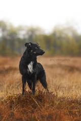 IMG_3441 (jabberjinx) Tags: autumn orange dog fall shepherd swamp aussie australianshepherd blackandtan