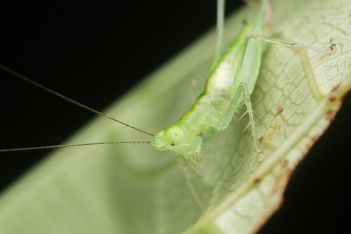 Tettigoniidae. Asiophlugis sp.