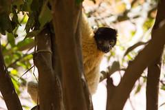 LEMUR-PARK-61 (RAFFI YOUREDJIAN PHOTOGRAPHY) Tags: park city travel trees plants baby white cute green animal fauna canon river jumping sweet turtle wildlife bricks mother adorable adventure explore lemur 5d lemurs bushes madagascar 70200 antananarivo mkiii